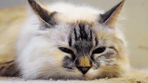 Кормление кошек при диабете