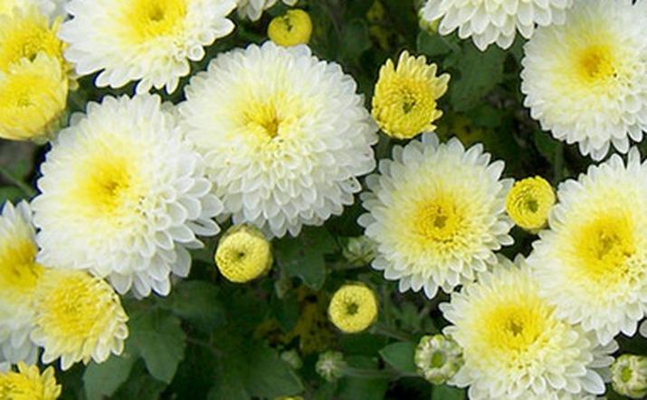 Как вырастить хризантему в саду